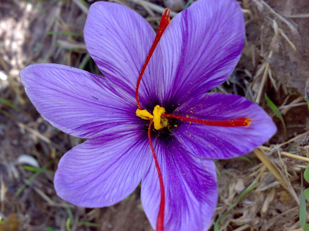 زعفران و گل زیبای بنفش شش برگ آن