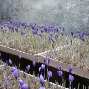 گل زعفران گلخانه ای