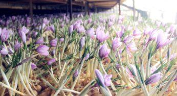 زعفران گلخانه ای