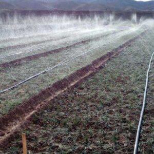 آبیاری مزرعه زعفران