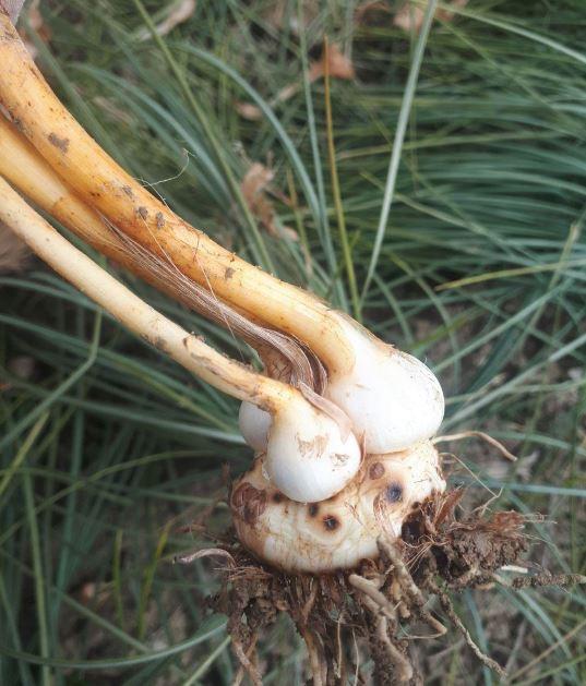 کنه و قارچ زعفران