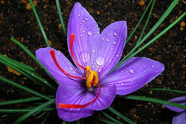 آب و هوای مناسب برای کاشت زعفران