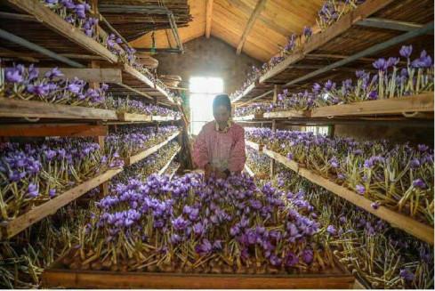 مزایا و معایب کشت گلخانه ای زعفران