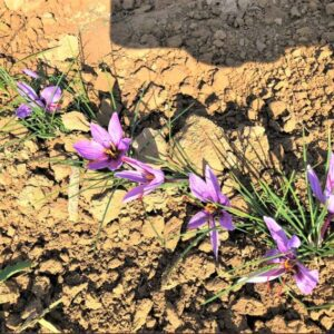 کشت خاکی زعفران