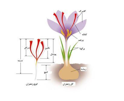 اجزای مختلف یک گیاه زعفران