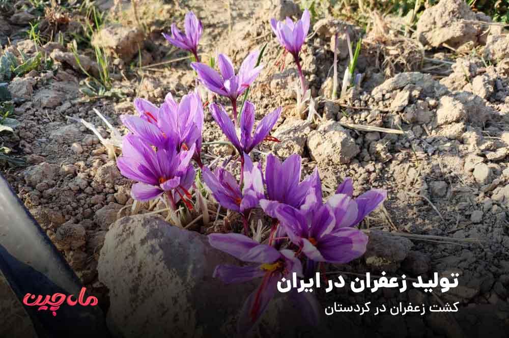 تولید زعفران در کردستان