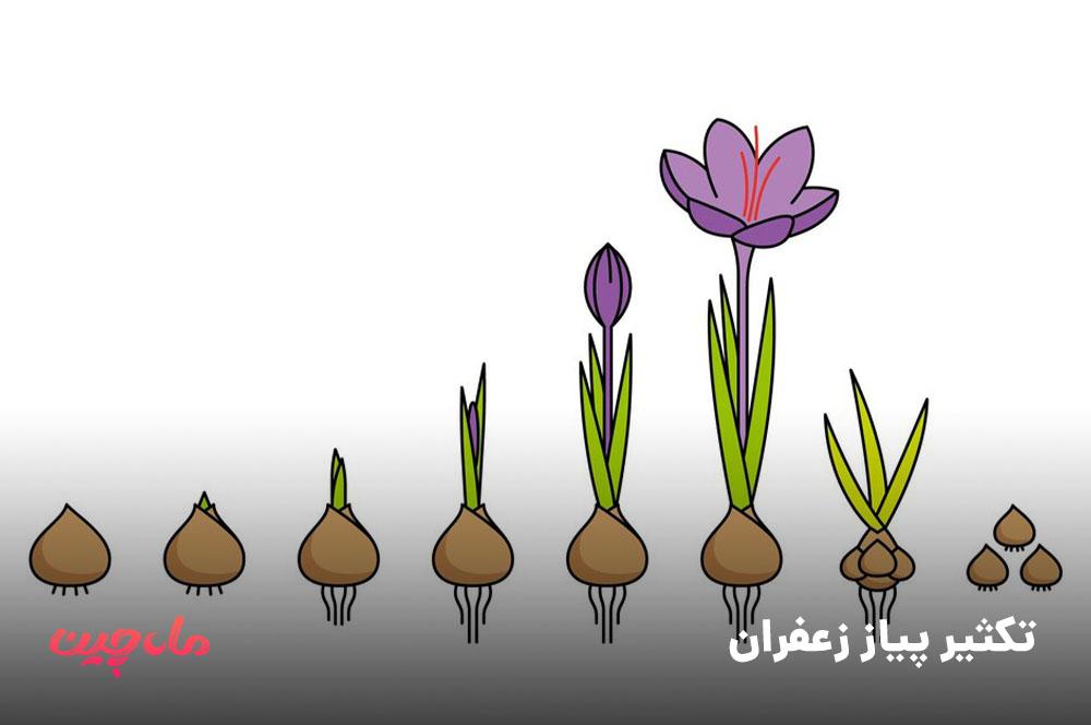 تکثیر پیاز زعفران