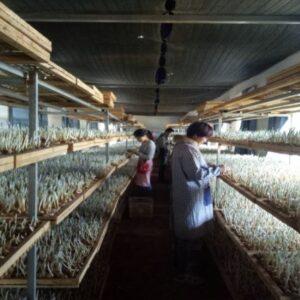 زعفران گلخانه ای در چین