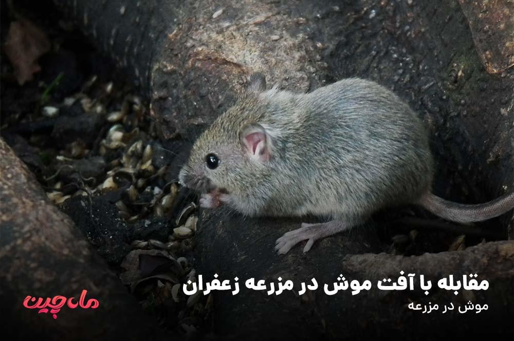 مقابله با آفت موش در مزرعه زعفران