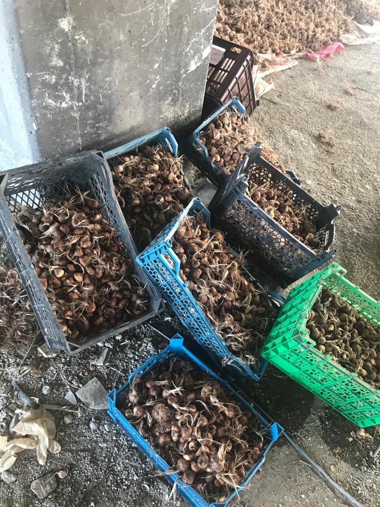 خرید پیاز زعفران گلخانه ای