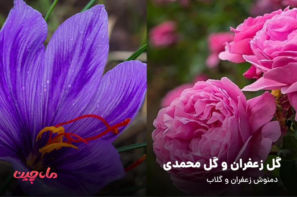 گل زعفران و گل محمدی