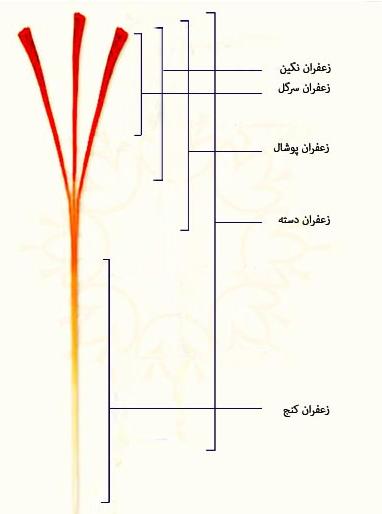 تقسیم بندی رشتۀ زعفران
