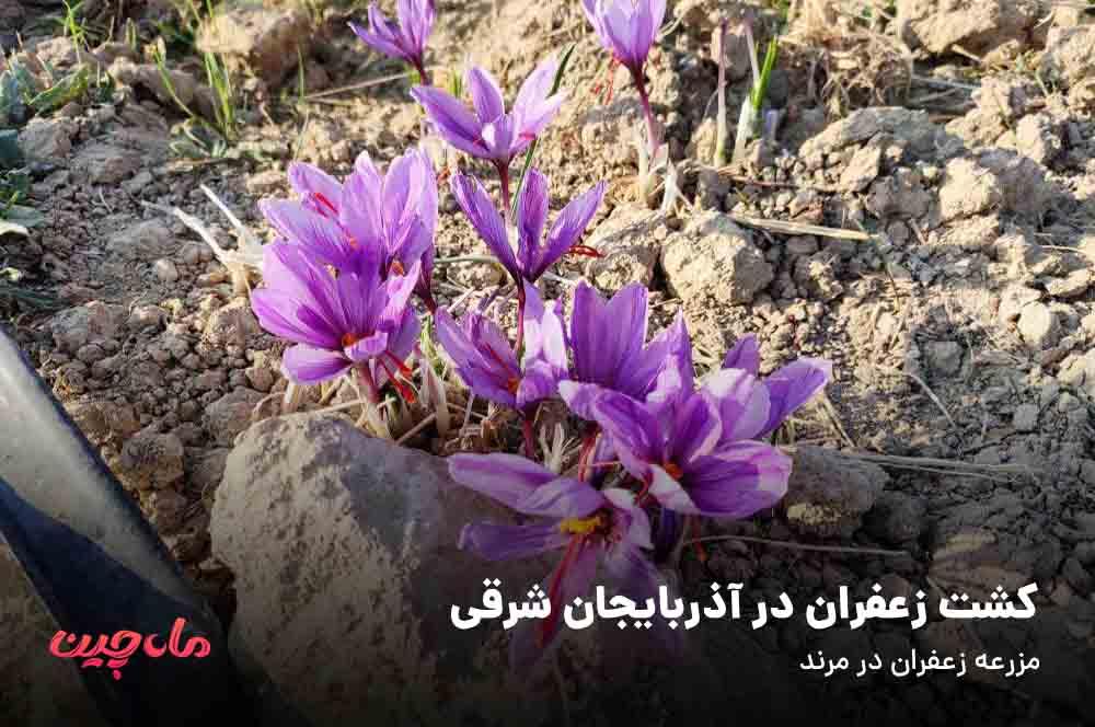 کشت زعفران در آذربایجان شرقی