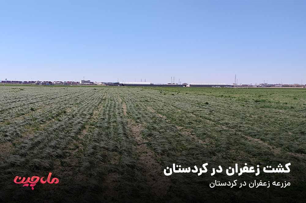 کشت زعفران در کردستان