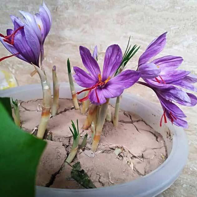 پکیج کاشت زعفران در گلدان